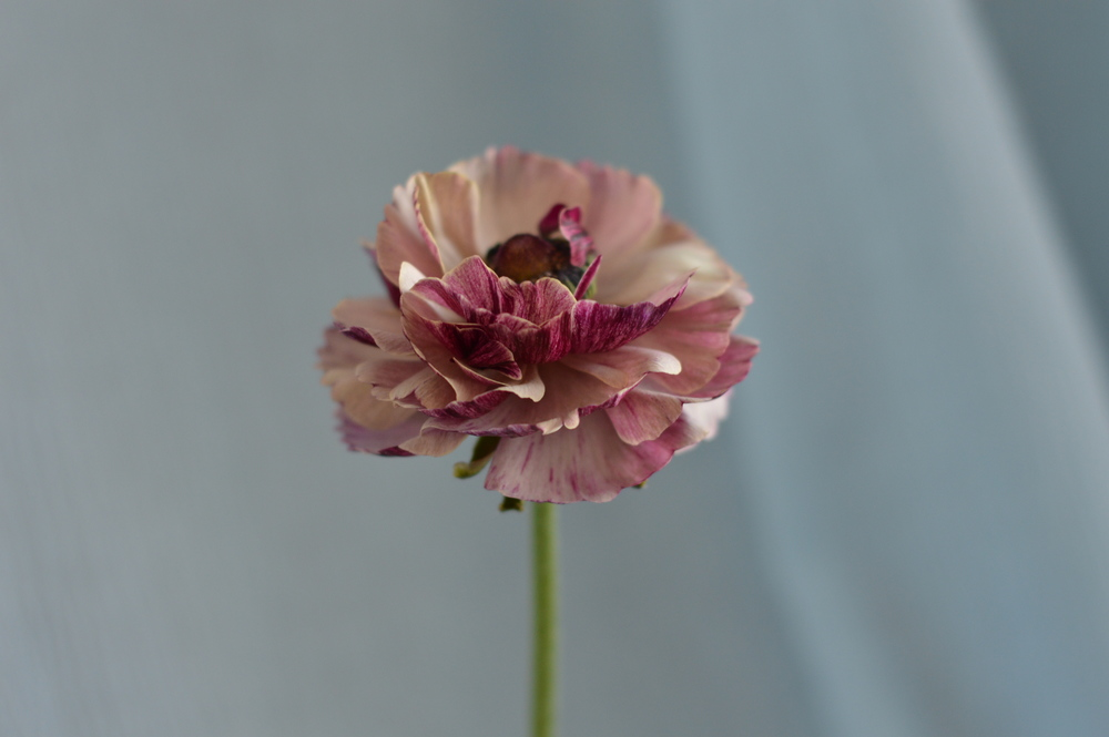 "A variegated purple and ""tea-stained"" ranunculus popped up in a cluster of purple and berry colored of blooms in the garden. The only one. Wish I had dozens of these."