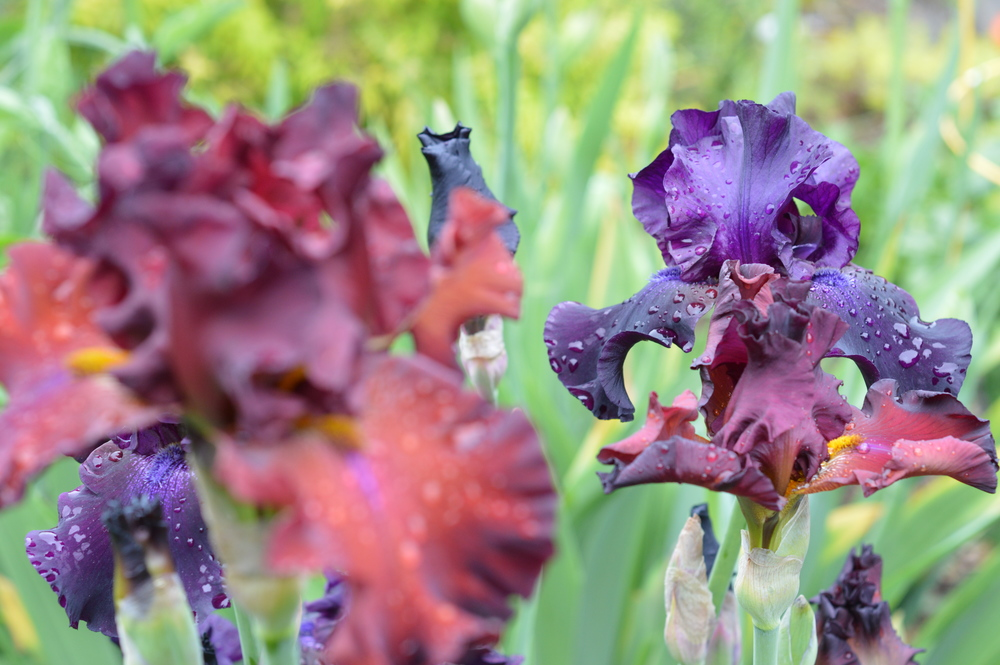 My small bearded iris patch after a refreshing spring rain.