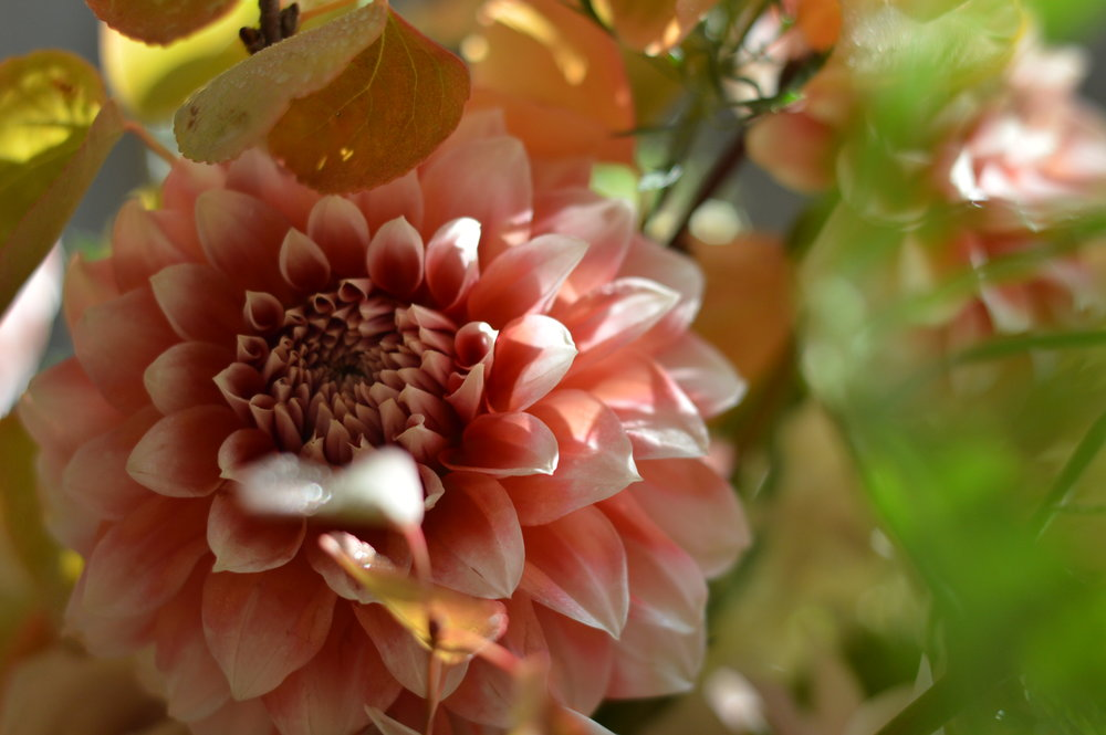 """Peaches and Cream"" dahlia."
