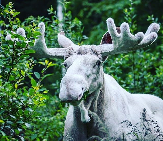 Did you know that Ferdinand is the most famous moose in Sweden? ;) Apply to CPR 2018: Dimming the Northern Lights to learn more about Swedish art and culture - deadline February 15 #sweden#swedishartist #swedishart #boden #luleå #nortbotten #whitemoose#ferdinand #tromsø #norway #faroeislands #torshavn #reykjavik#iceland #hyrynsalmi #helsinki #finland #curatorialprogram#curatorialresidency #curatorialproject #cpr2018  #cprlights #apply #application #deadline #opencall