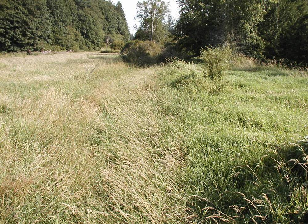 Before Restoration - Kendall Creek was choked with invasive grass, a serious migratory barrier for salmon.