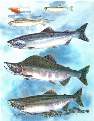 Pink salmon life stages - notice the lack of parr marks (stripes) on the fry