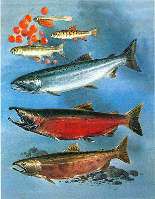 Coho salmon life stages - look at that blue-ish back!