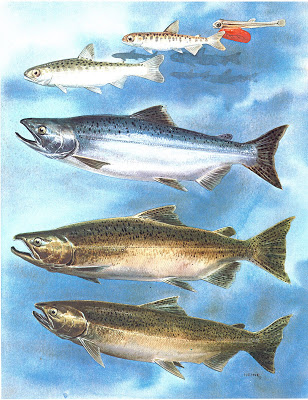 Chinook salmon life stages - check out the dark spots all over the tail fin
