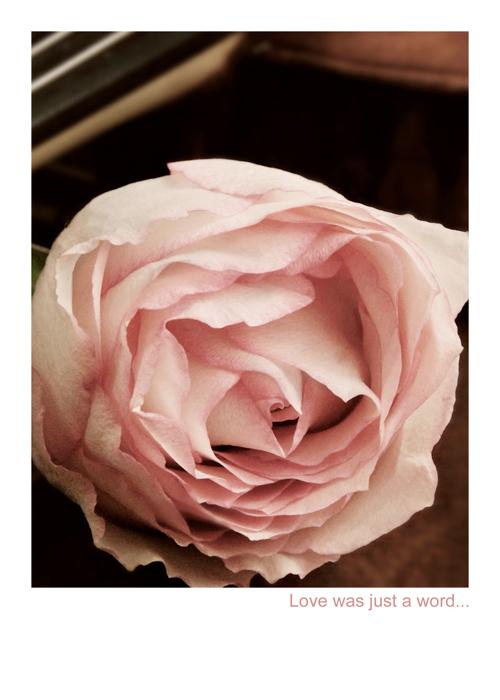 single pink rose bstreet