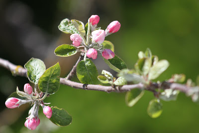 APRIL 29 --  Apple Blossoms