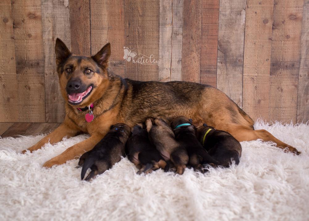 a sweet mama german shepherd nursing her 5 puppies