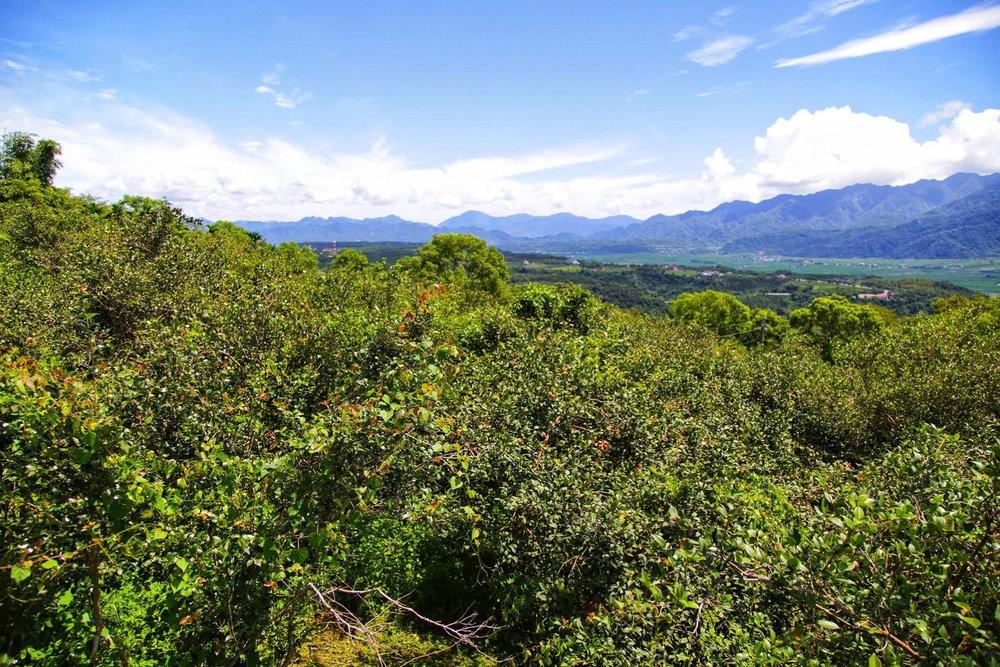 (茶籽堂在宜蘭朝陽社區種下3千顆苦茶樹來源: 茶籽堂粉絲專頁 )