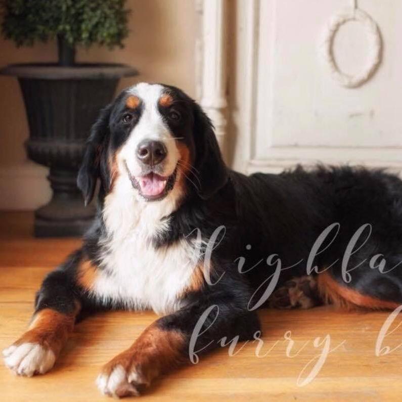 Ellis - Bernese Mountain Dog Momma