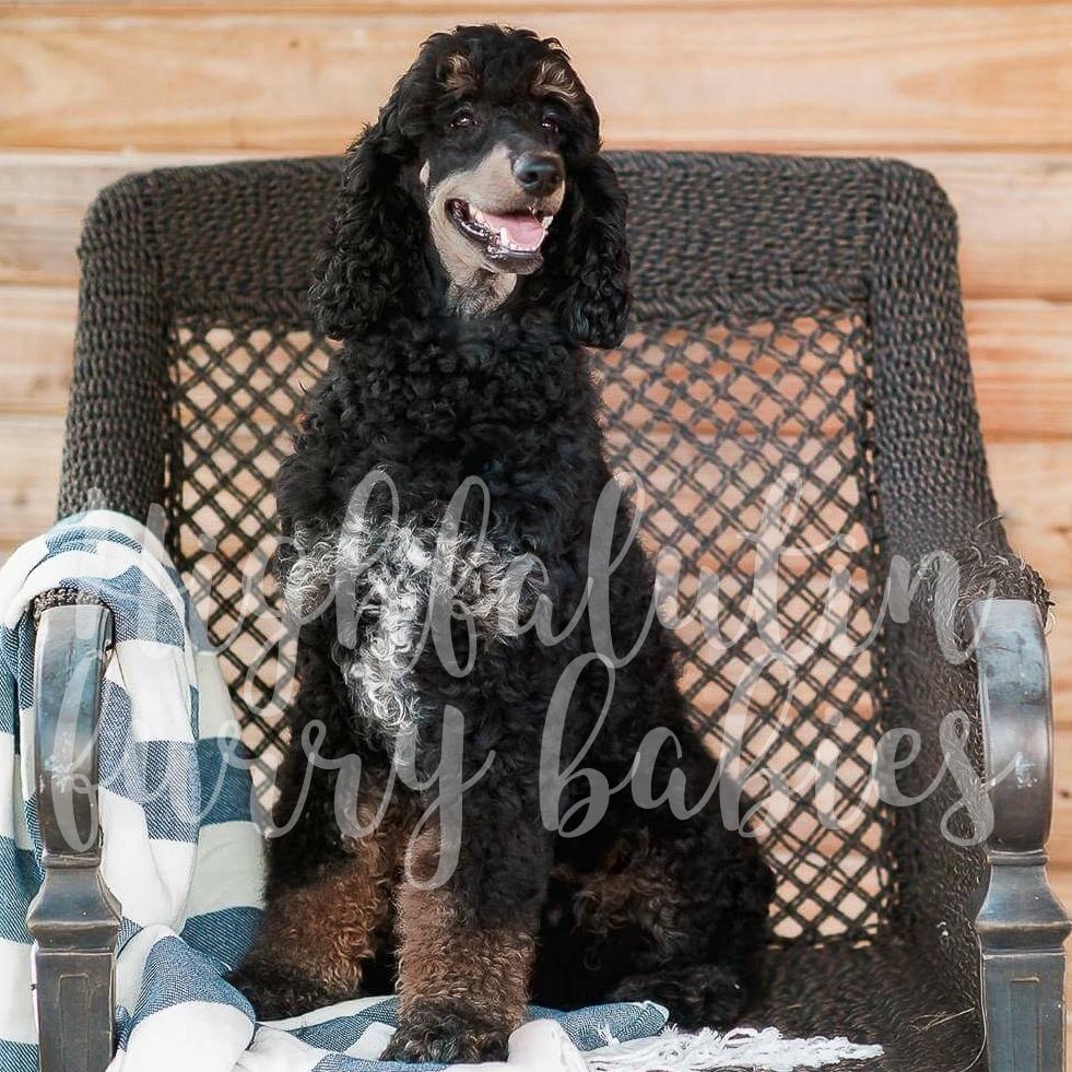 Easton - Standard Poodle Stud