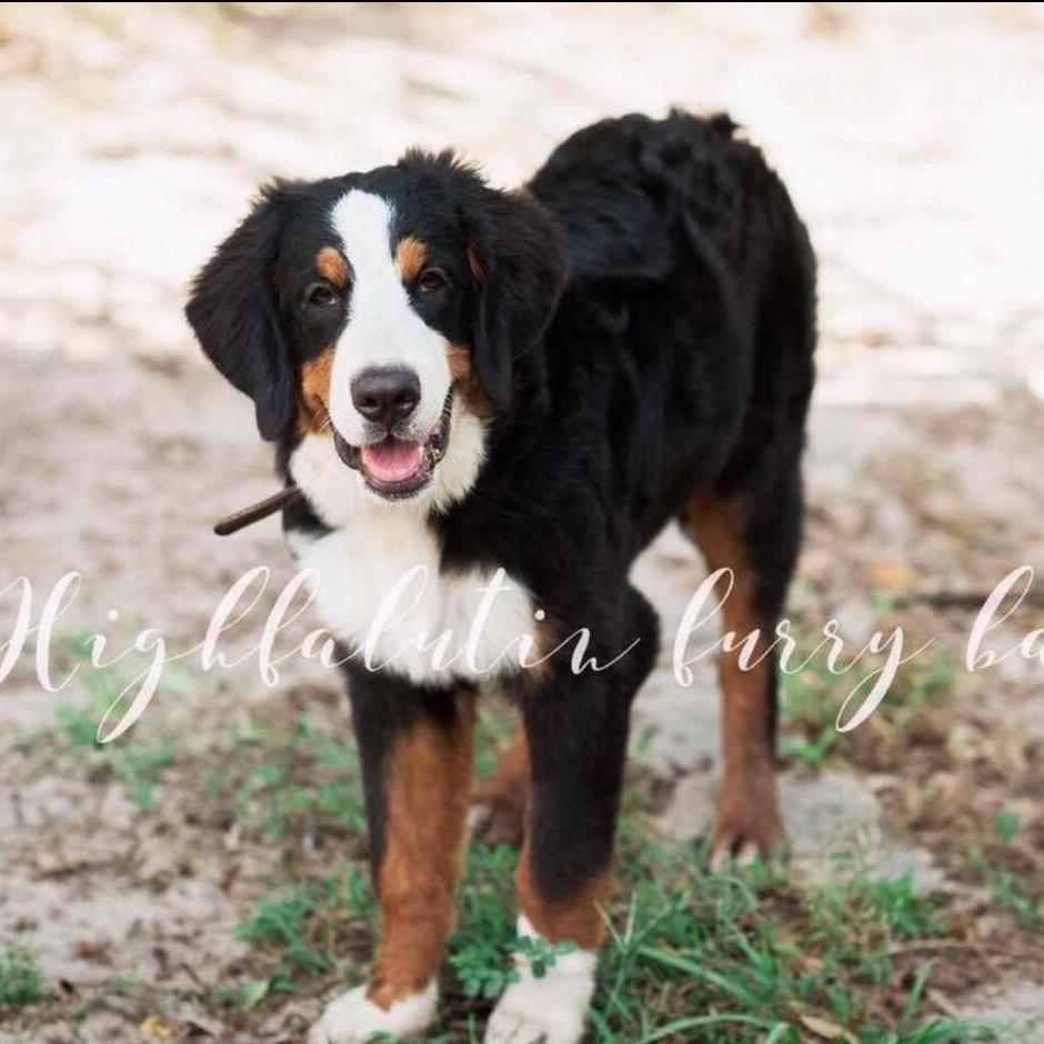 Vega - Bernese Mountain Dog Momma