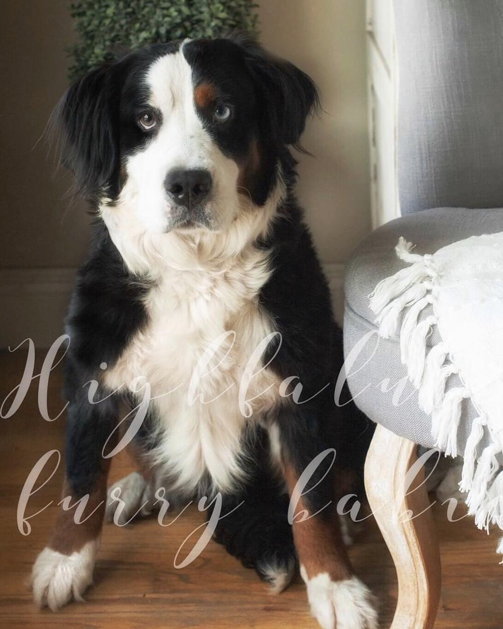 Roxy - Bernese Mountain Dog Momma