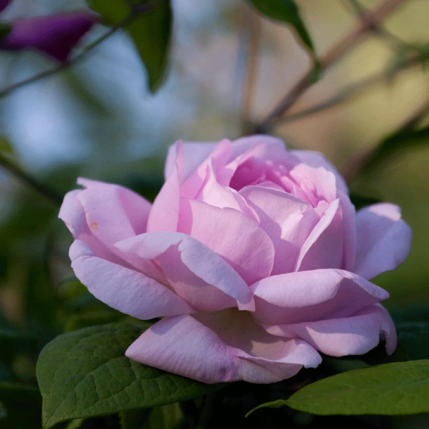 Denne vakre rosen er antakelig David Austins mest kjente rose. Navnet er  Constance Spry  .
