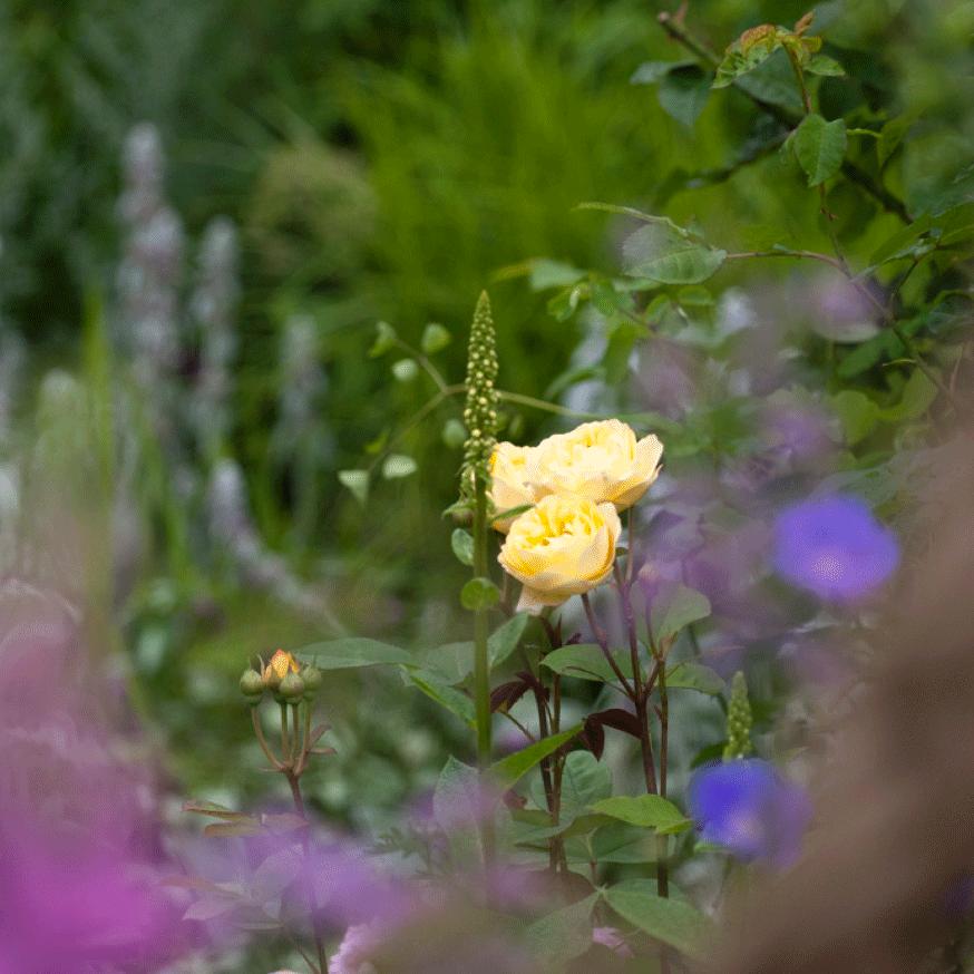 Det er trangt om plassen i en cottage garden, men det er nettopp denne blandingen av planter som gir så mye av sjarmen.