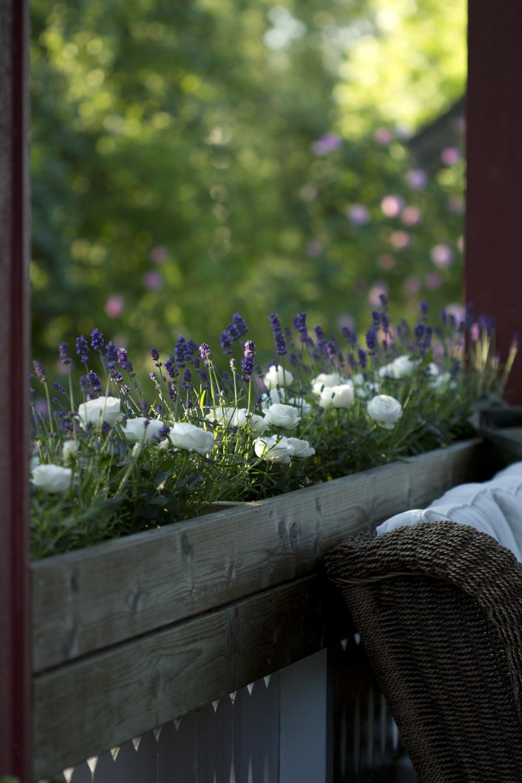 Ettersom blomsterkassene har mye sol, valgte jeg potteroser og lavendel i dem i år.