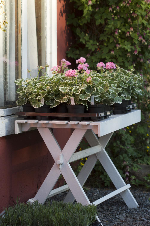 I går gikk turen til Sissel på Hoel gartneri. Hun har hjulpet meg med å stiklingsformere den gamle pelargonen 'Otilie' som vi har. Ikke så stor overraskelse at hun har fått til så flotte planter. Jeg anbefaler på det varmeste et besøk i gartneriet hennes.