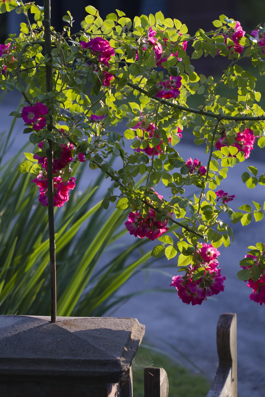 """Den milde vinteren gjorde at jeg nå kan nyte den lite vinterherdige rambleren 'American Piller'. Jeg pleier å si at disse rosene bare er til """"låns"""" så lenge vintrene ikke blir for tøffe. Selv om de er engangsblomstrende blomstrer de mye seinere på sesongen en de andre engangsblomstrende og er med på å forlenge roseblomstringen i hagen.."""