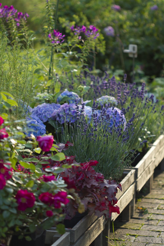 Plantefeltet med salgsplanter er igjen fylt opp med clematis viticella av forskjellige slag, stauder og litt påfyll med planter fra hagen.
