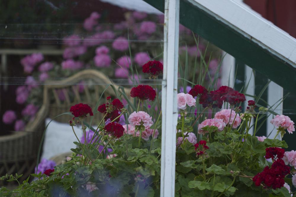 Den kjølige sommeren har gjort at plantene i drivhuset stortrives. Pelargoniene blomstrer om kapp.