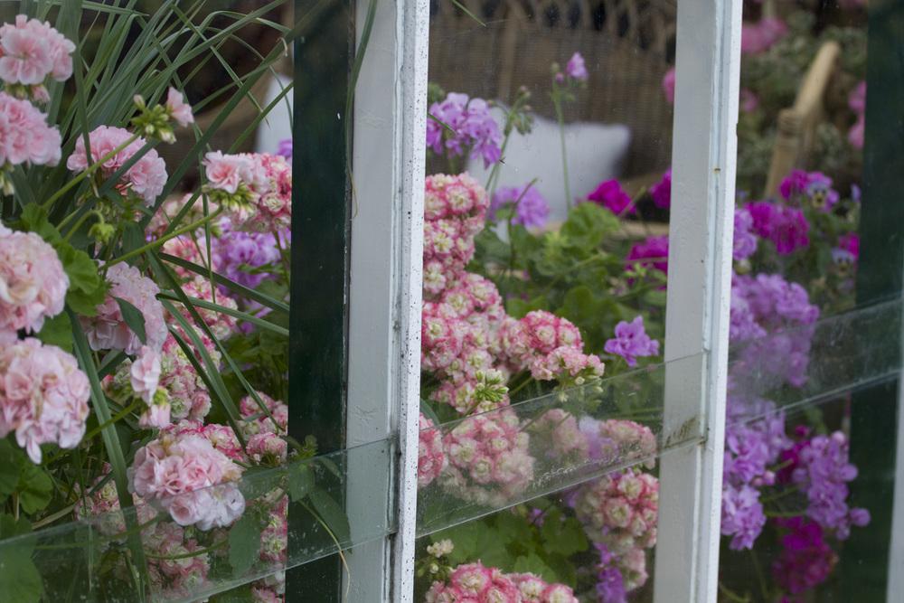 Pelargoniumene i drivhuset takker og bukker for ly for regnværet.