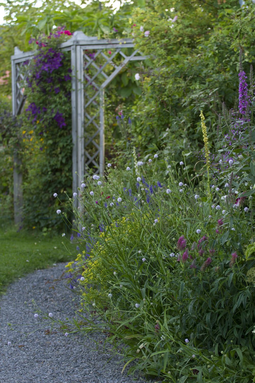 Noen stauder holder koken i østveggen, og viticellaclematisen 'Polish Spirit' står i fullt flor.