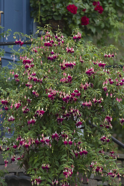 Hyggelig med planter som takker for vanning og stell gjennom sommeren. Dette er 'Mood Indigo'.