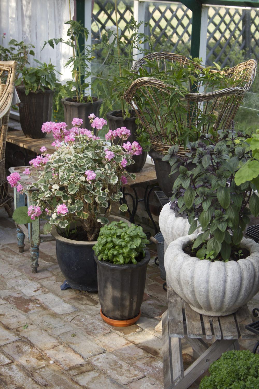 I drivhuset er pelargoniaene i gang med blomstringen og tomatplanter, basilikum og pasjonblomsten er på plass.