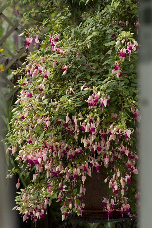 Antallet blomstrende stauder og roser er mindre, men krukker, urner og blomsterkasser blomstrer bedre enn noen gang. Bildet viser fuchsia jeg sådde fra frø fra Chiltern Seeds for omlag 15 år siden