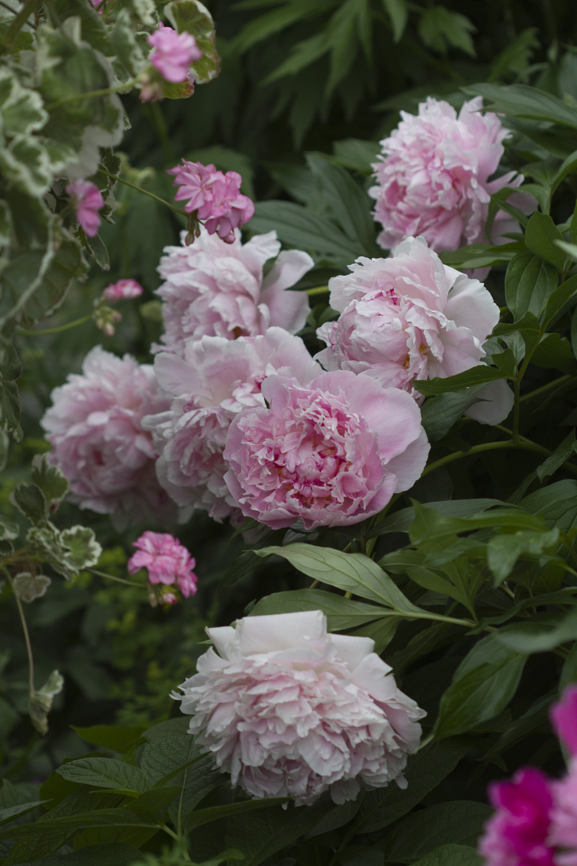 Jeg pleier å si at å plante til en Cottage Garden er så å si gratis. For i en Cottage garden trives de billige, villige plantene, men pionen anbefaler jeg selv om den er kostbar i innkjøp. Men passer du på å ikke plante den for dypt og at den ikke tørker ut etter planting, vil du ha glede av den i mange, mange år. Den blir ikke hagens midtpunkt året du planter den, og heller ikke året etter, men deretter vil den glede deg i framtida.