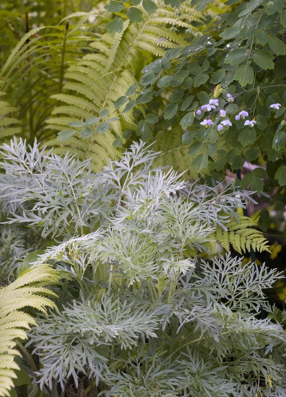 Jeg som er så glad i blonder og kniplinger synes det er fint med de florlette, tynne bladene på malurten. Bildet viser   Artemisia absinthium   ,  men det er mange i samme slekt jeg også liker godt som for eksempel den gode, gamle abrodden.