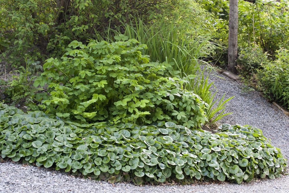 I min Cottage Garden vil jeg tippe at jeg har plantet ca halvparten av plantene der de står nå. Den andre halvparten frør seg selv og dukker opp på nye plasser for hvert år, helt gratis. Det hindrer også plass til ugraset. Men det gjør også at en Cottage garden fort kan bli rotete og kaotisk. Det er derfor viktig med noen strenge linjer som strammer opp igjen uttrykket. Her har jeg derfor en ensartet kant med hasselurt   Asarum europaeum   . Dette er en favorittkantplante mot øst, vest og nord. I sørvendte områder trives den ikke.