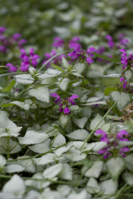 Jeg pleier å si at planter lavere enn en halvmeter ikke er av min interesse, men det er noen bunndekkere som hjelper meg mot ugraset. Slik som denne flekktvetannen   Lamium maculatum   . Har denne det godt blomstrer den fra april til september.