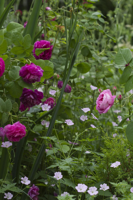 En annen bunndekker jeg har blitt glad i er høststorkenebben   Geranium oxonianum    Selv om den heter høststorkenebb starter den blomstringen som regel før midtsommer, men fortsetter helt til frosten kommer. Kjøper du en plante (eller sår) har du mange etter noen år.