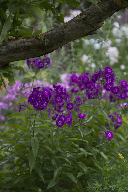 For å ha blomsterglede i hagen utover høsten anbefaler jeg å plante inn noen forskjellige floks   Phlox paniculata    . Mange av dem er dessverre utsatt for meldugg, men som med alle andre planter dukker den opp bare på planter som ikke blir stelt godt.