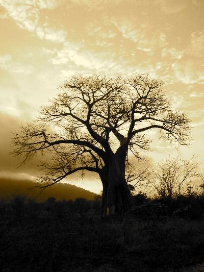 ! Lorien_Baobab.JPG