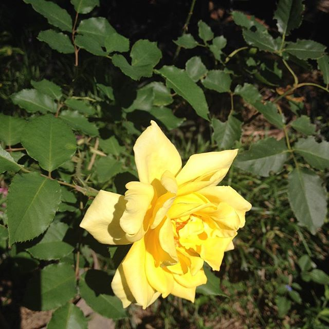 Our Yellow Rose Loved the recent rains