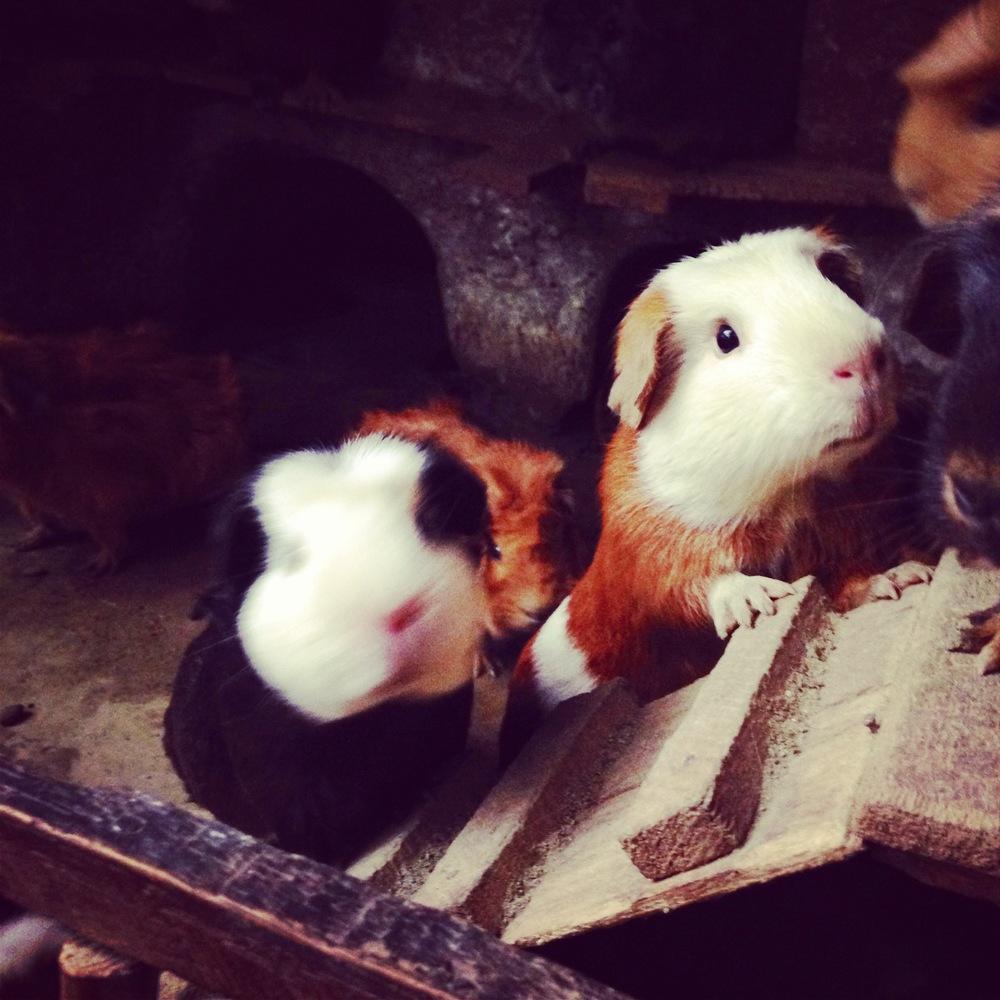Guinea Pigs before Cusco Peru - 3 Days*