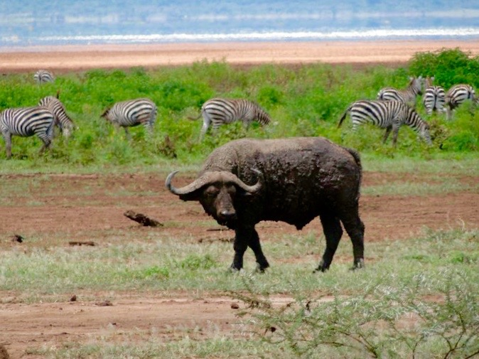 Waterbuffalo, Safari in Tanzania, Africa - 3 Days*
