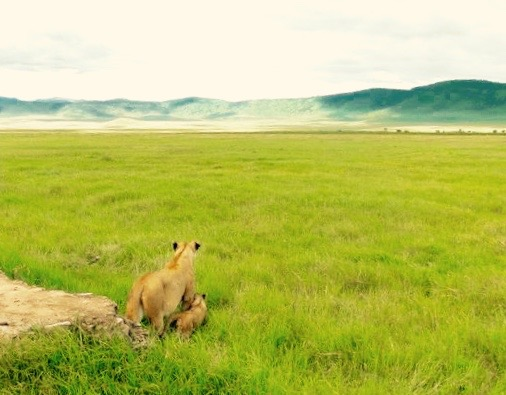 Lion and Cub on Safari, Tanzania Africa - 3 Days*