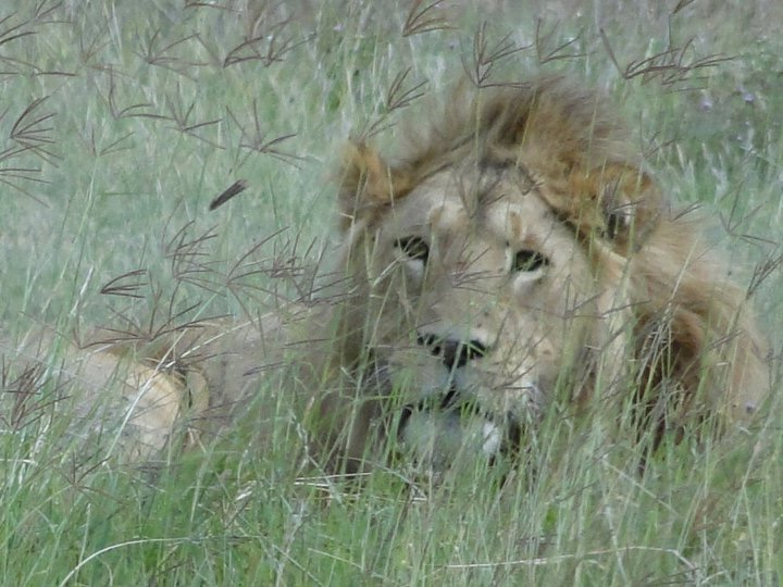 Lion on Safari, Tanzania Africa - 3 Days*