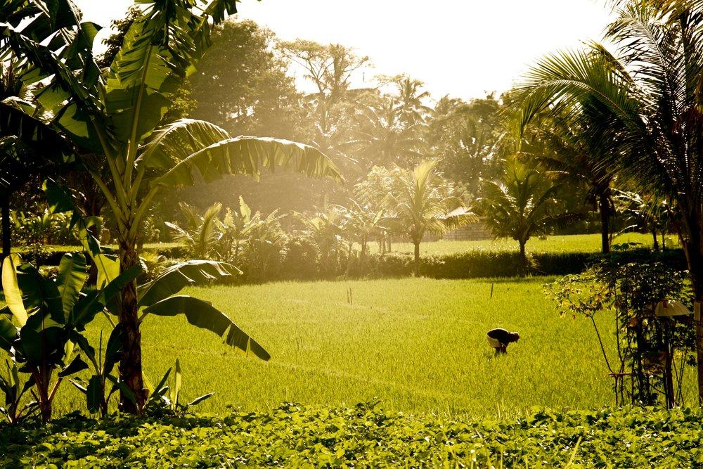 Rice paddies near Ubud