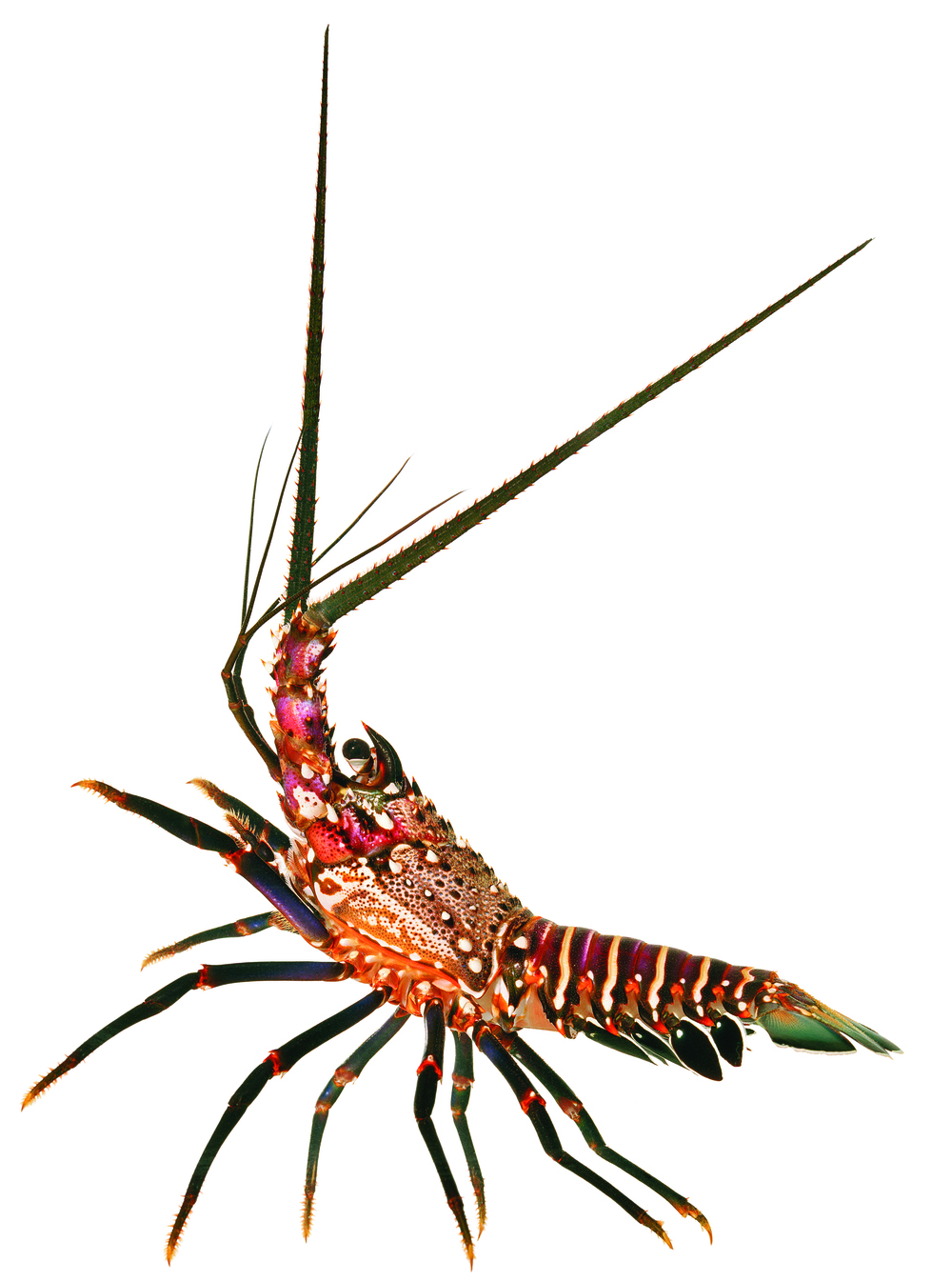 Banded Spiny Lobster
