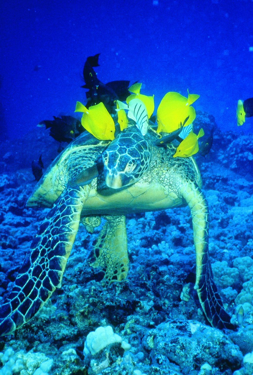 Yellow tang and convict tangs eat the algae off the back of a green sea turtle.