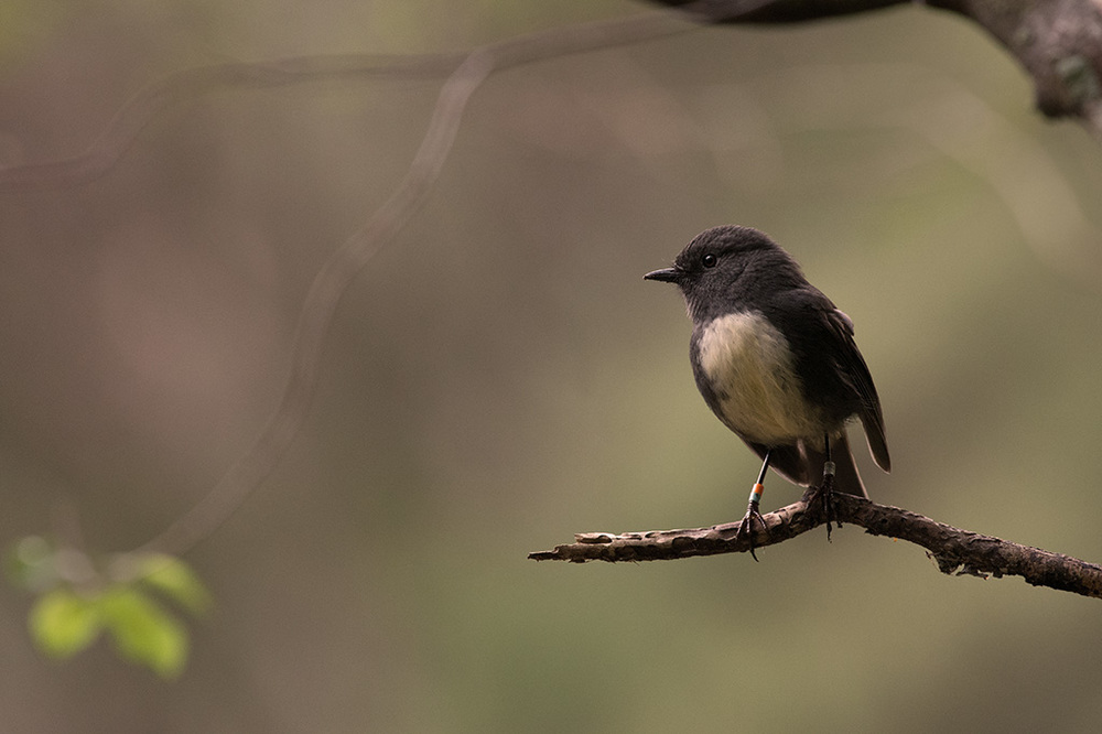 South Island Robin - © Craig McKenzie