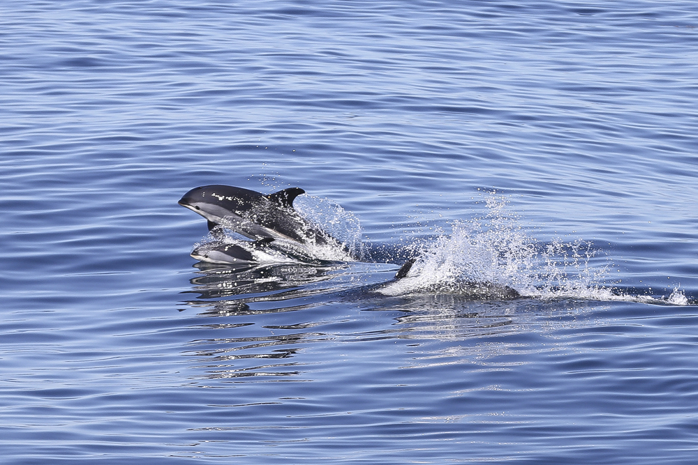 White-sided dolphin (adult female with calf)