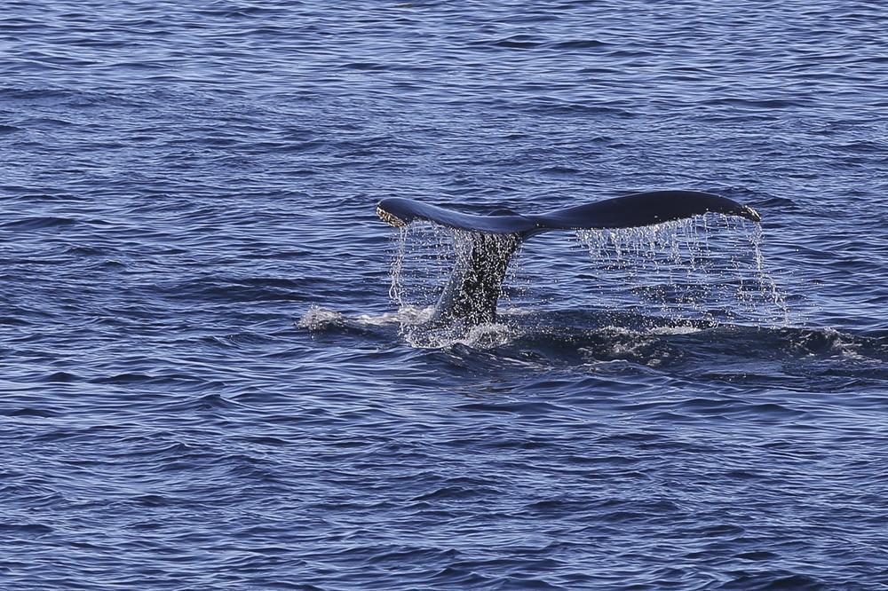 Humpback whale 'fluke'