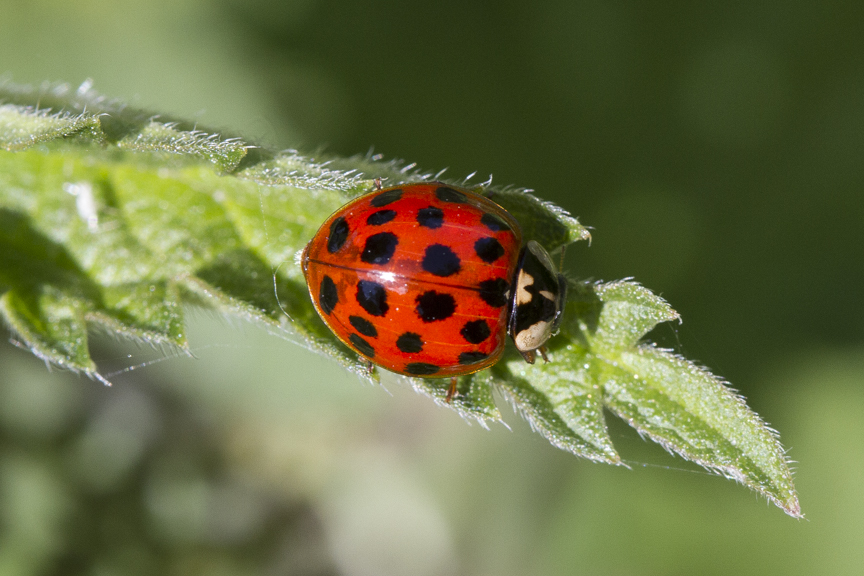 Harlequin ladybird an invasive pest that is a threat to native species