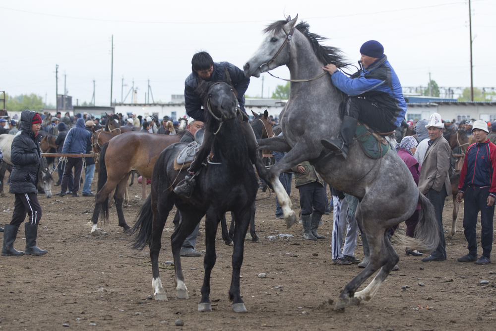 Horses being tried out in close quarters to see if they are suitable mounts for Kok Boro.