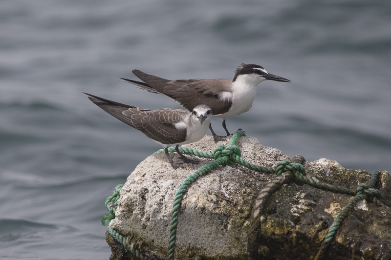 Adult bridled tern with one of this years brrod