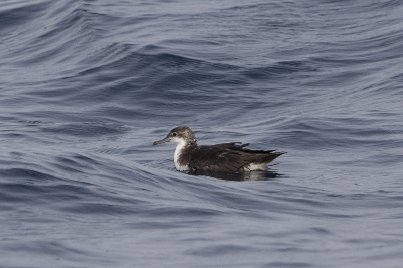 Persian shearwater going through it's summer moult